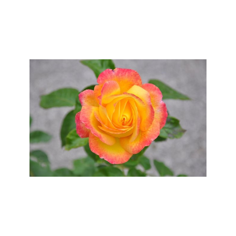 Rosier jaune rose grosses fleurs - Pullman orient express
