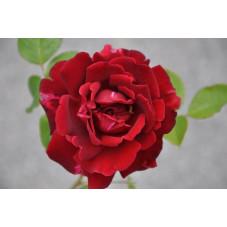 Rosier rouge grosses fleurs - Guini