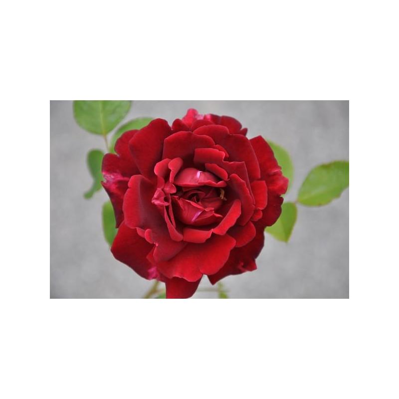 Rosier rouge à grosses fleurs - Guini