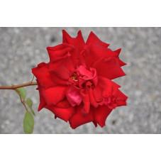 Rosier tige rouge grosses fleurs - red star