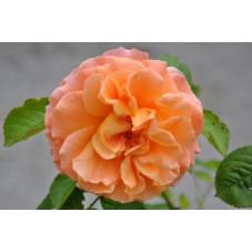Rosier rose féerique - cervia