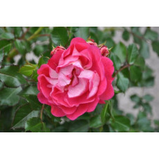 Rosier rose foncé - lilliputs charmant