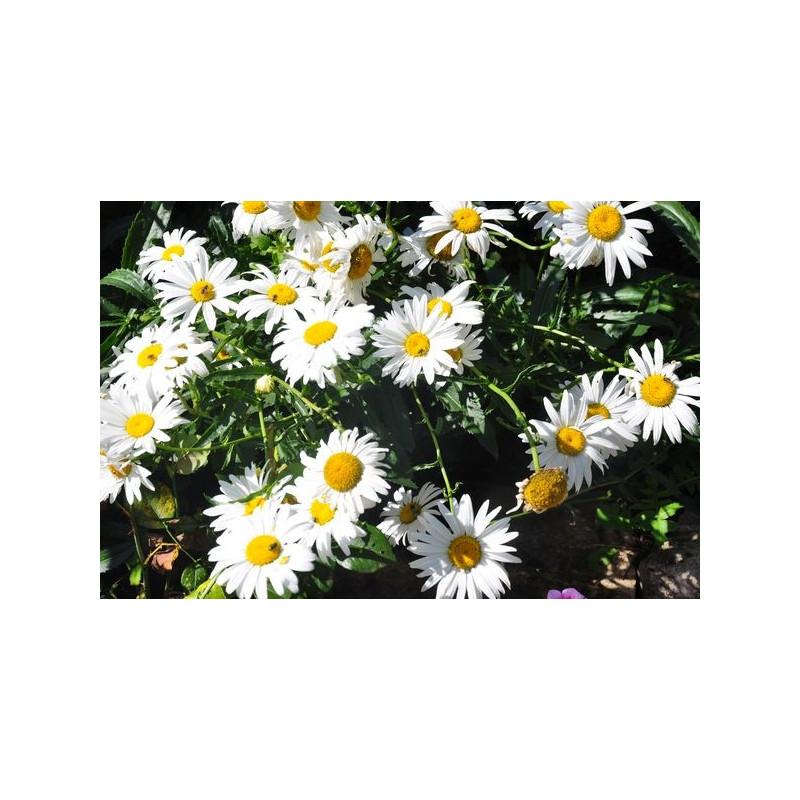 Leucanthemum  - marguerite d'été