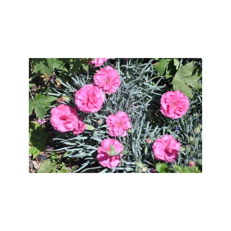 Dianthus plumarius (œillet vivace)