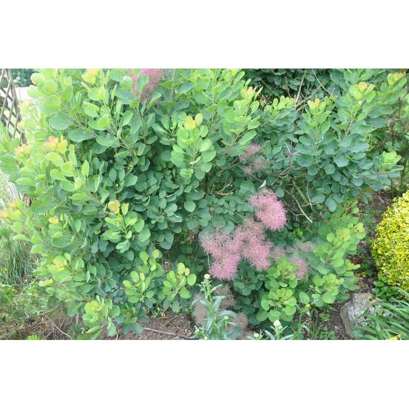 Cotinus coggygria - arbre à perruque vert