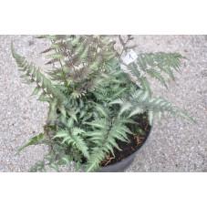 Fougère - Athyrium niponicum métallicum