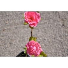 Rosier rose polyantha - tom tom