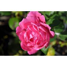 Rosier rose grosses fleurs - pink peace