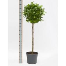 Ficus moclame  tige