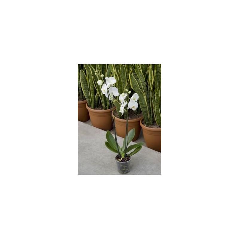 Phalaenopsis ikaria  - orchidée
