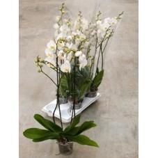 Phalaenopsis ikaria