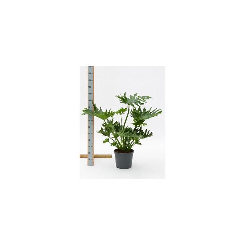 Philodendron selloum  -  120 cm