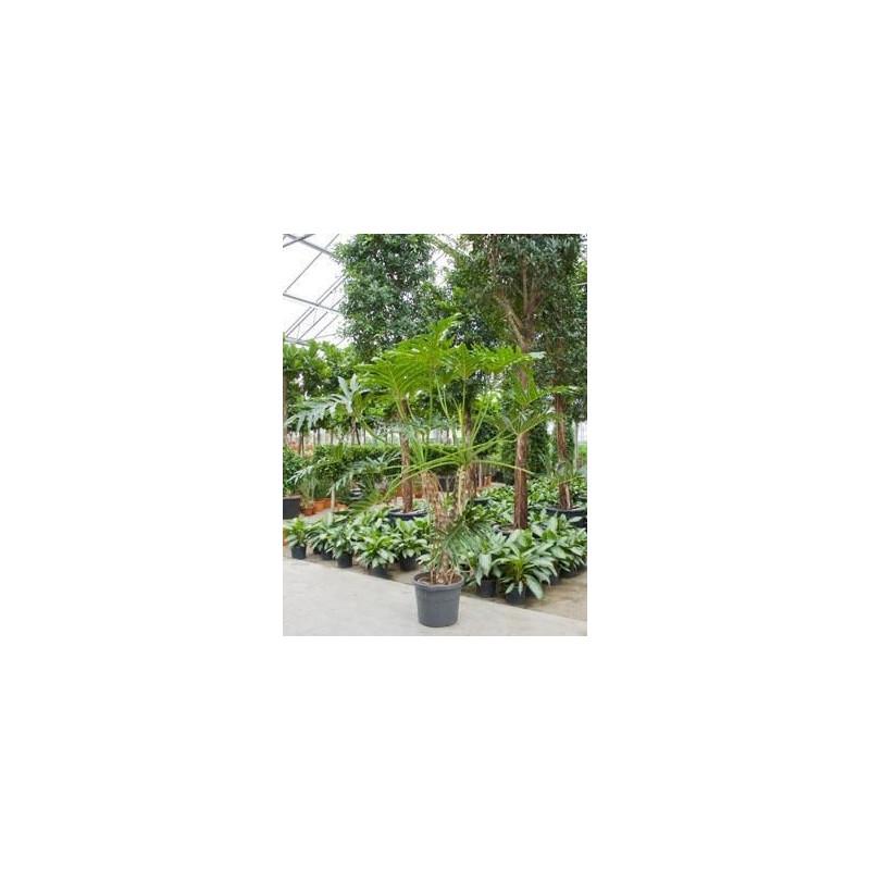 Philodendron selloum  -  230 cm