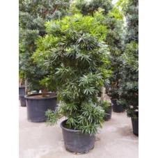 Podocarpus macrophylla