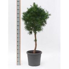 Podocarpus macrophylla   tige