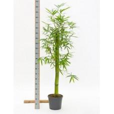 Bambusa vert