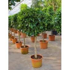 Ficus nitida    tige