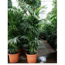 Kentia forsteriana    ( en 300 cm )
