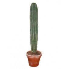 Pachycereus pringlei  -  180 cm