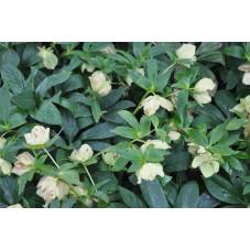 Helleborus niger (rose de noel)