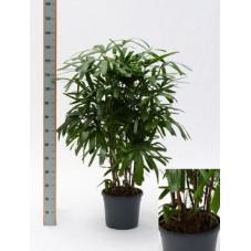 Rhapis excelsa  -  110 cm