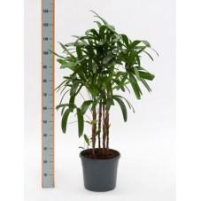 Rhapis excelsa  -  130 cm