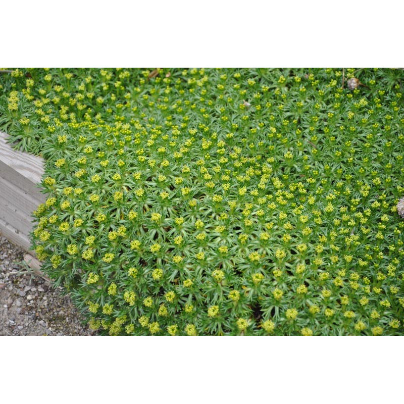Azorella trifurcata