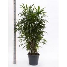 Rhapis excelsa  -  175 cm