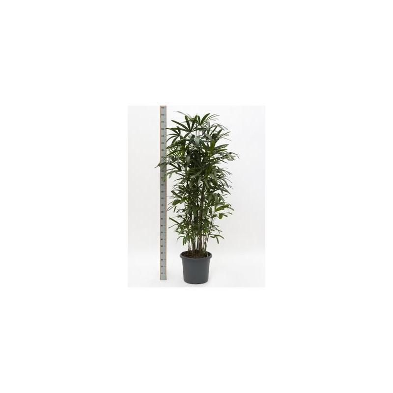 Rhapis excelsa  -  230 cm