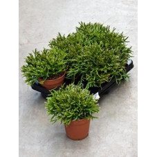 Rhipsalis burchelli  ( lot de 2 u. )