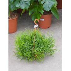 Rhipsalis heteroclada