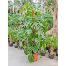 Philodendron pertusum  -  150 cm