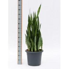 Sanseviera zeylanica  -  110 cm