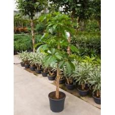Schefflera actinophylla  -  275 cm