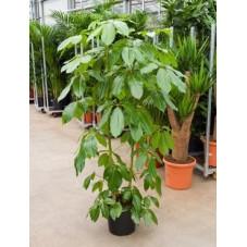 Schefflera amate  -  170 cm