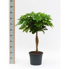 Schefflera arboricola  -  tige