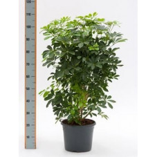 Schefflera arboricola  -  120 cm