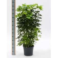 Schefflera arboricola  -  140 cm