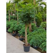 Schefflera arboricola  -  tige  180 cm