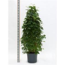 Schefflera arboricola  -  pyramide