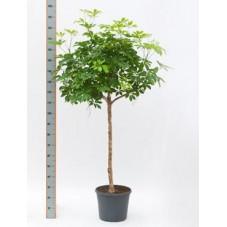 Schefflera arboricola  -  tige  160 cm
