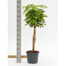 Schefflera gold capella  tige  110 cm