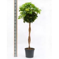 Schefflera gold capella  tige  150 cm