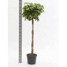 Schefflera gold capella  tige  180 cm