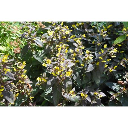 "Lysimachia ciliata ""firecracker"""