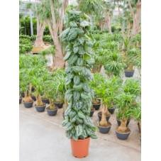 Scindapsus pictus trebie  -  160 cm