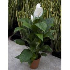 Spathiphyllum lima
