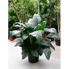 Spathiphyllum sensation  -  150 cm