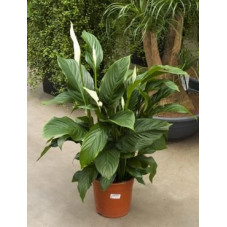 Spathiphyllum silvana