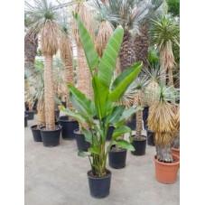 Strelitzia nicolai  -  180 cm